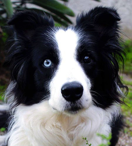 assinistra il cane border collie shira